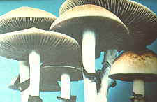 22-19 magic mushrooms mature.jpg (5841 bytes)