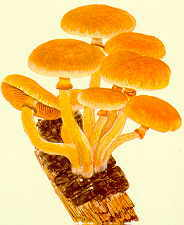 Chapter 22 Poisonous and hallucinogenic fungi
